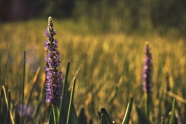 Warm Lavender thumbnail