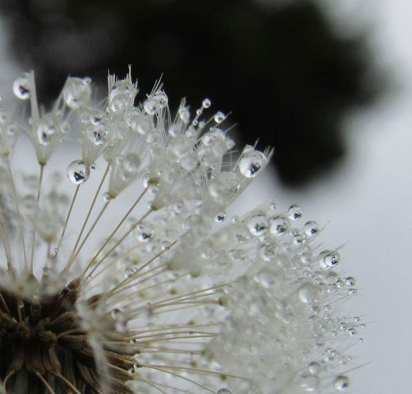 Dew on Dandelion thumbnail