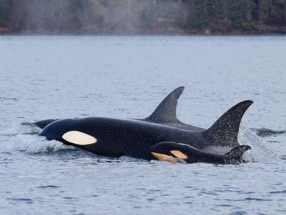 orca whale and its infant that was soon killed