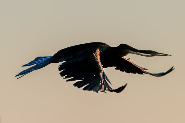African Darter in Flight thumbnail