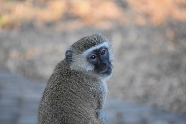 A curious monkey thumbnail