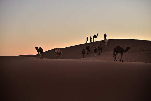 Bedouins and their camels at dusk thumbnail