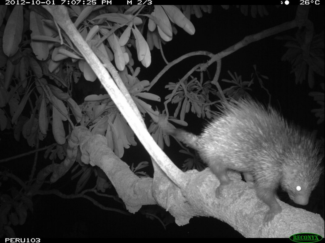A nighttime camera trap photo of a porcupine with spiky quills crossing a tree branch in the canopy of Peru's rainforest.