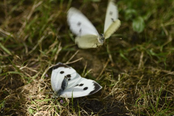 Cabbage White Butterflies being friendly thumbnail