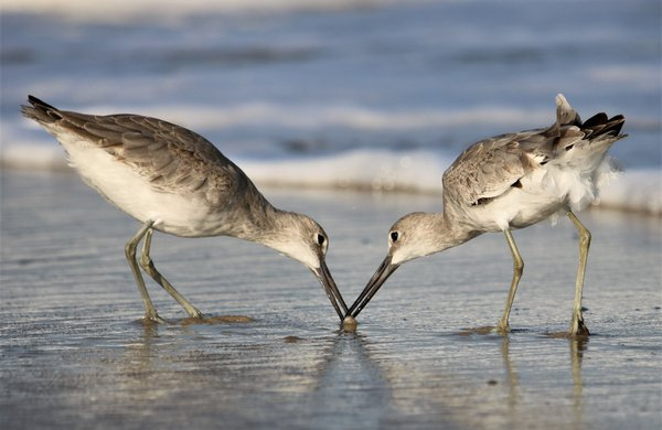 Willets feeding on Assateague Island National Seashore thumbnail