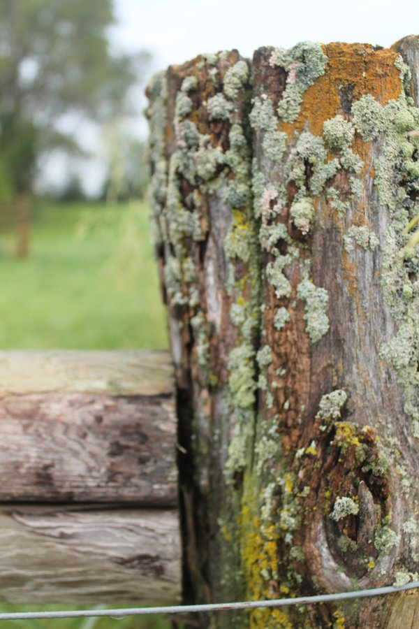 Lichen on a wooden fence post thumbnail