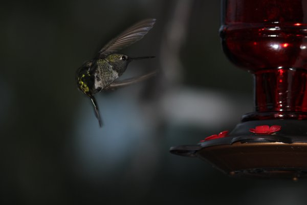 Still shot hummingbird flying feeder thumbnail