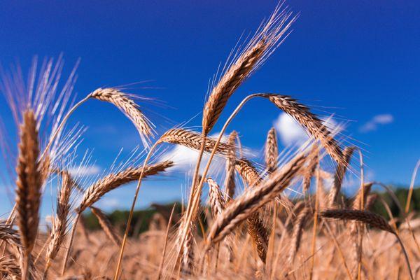 Wheat paradise thumbnail