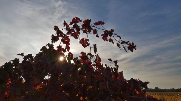 A fall grapevine at a Plymouth, CA vineyard thumbnail