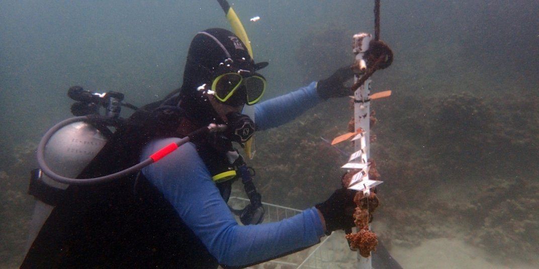 Smithsonian Conservation Biology Institute scientists Mike Henley dives underwater at a coral nursery site where he examines growing corals.