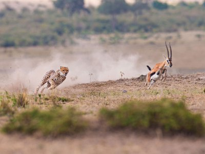 In an event where a cheetah attacks an impala and the prey survives, the trauma can leave lasting effects on the survivor's behavior that resemble post-traumatic stress disorder in people.