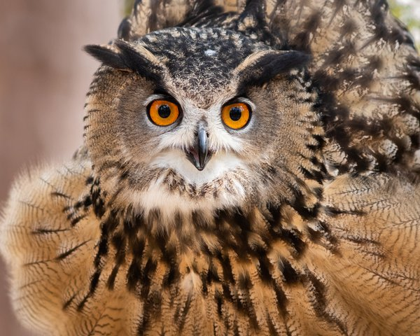 Eurasian Eagle Owl in Fluff thumbnail