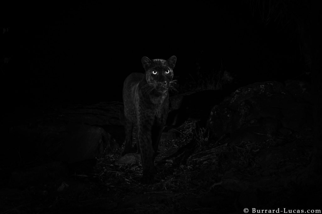 See Stunning New Photos of Rare African Black Leopard