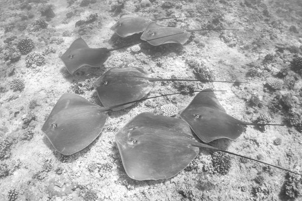 A Fever of Sting Rays thumbnail