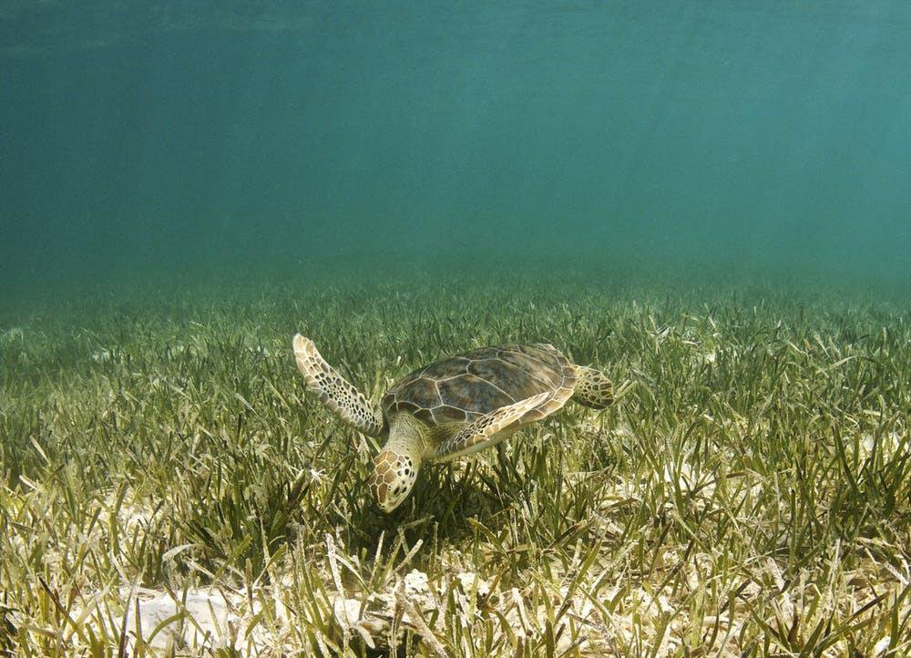Underwater Meadows of Seagrass Could Be the Ideal Carbon Sinks