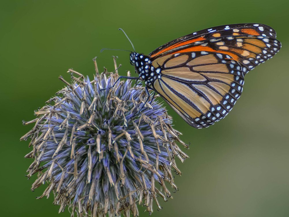A monarch butterfly sits on a globe thistle on a green background