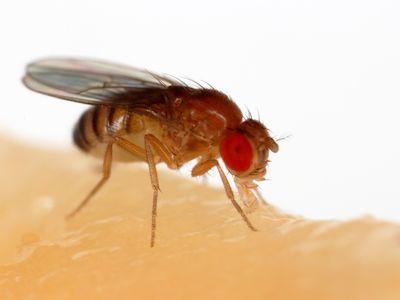 A fruit fly (Drosophila melanogaster) feeding off a banana.