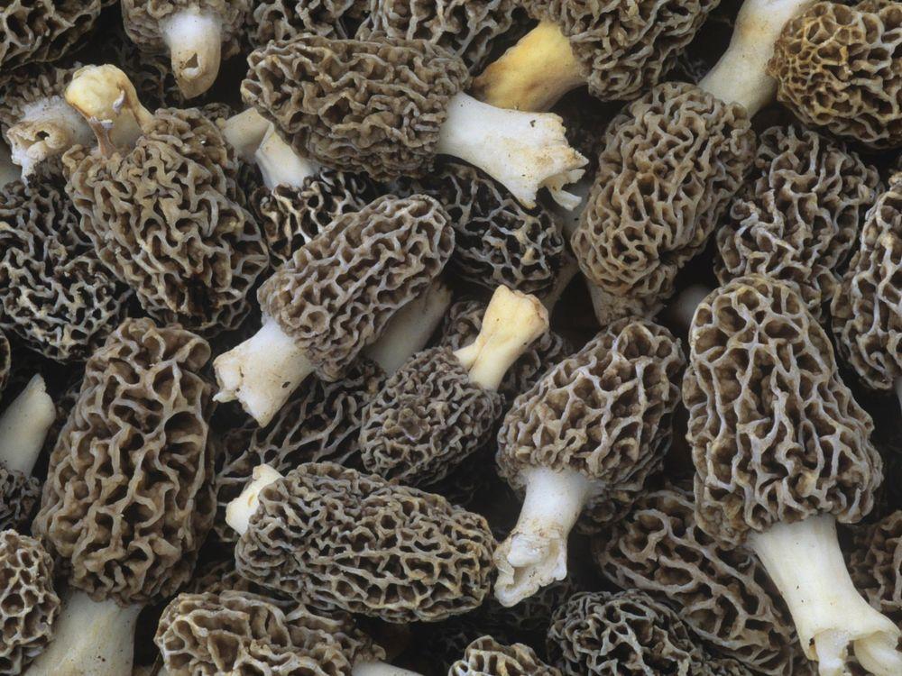 Morel Mushrooms