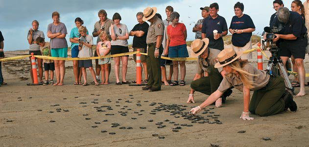 onlookers watch turtle hatchlings on the beach