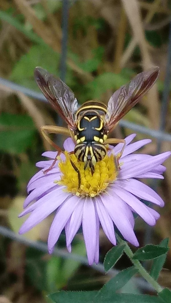 Hover fly thumbnail