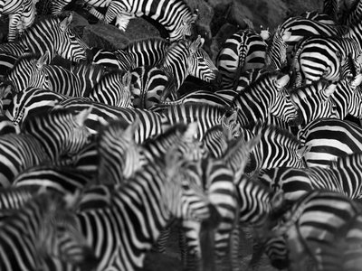 One way of distinguishing these zebras from one another? Their stripes