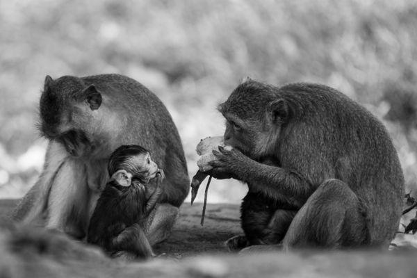 Monkeys near Angkor Wat thumbnail