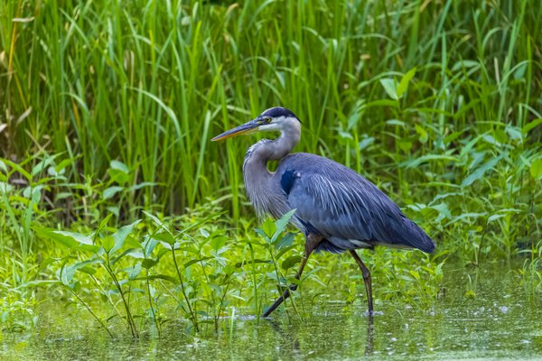 Blue Heron looking for a perfect spot to have a meal thumbnail