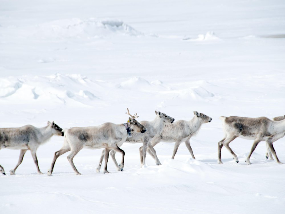 Six caribou are in the foreground, trekking through the snow. Behind them is a snowy hill.