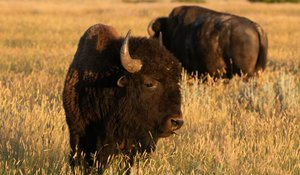 Understanding Bisons' Eating Habits Could Help Bird Conservation