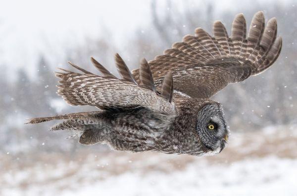 Great Grey Owl thumbnail