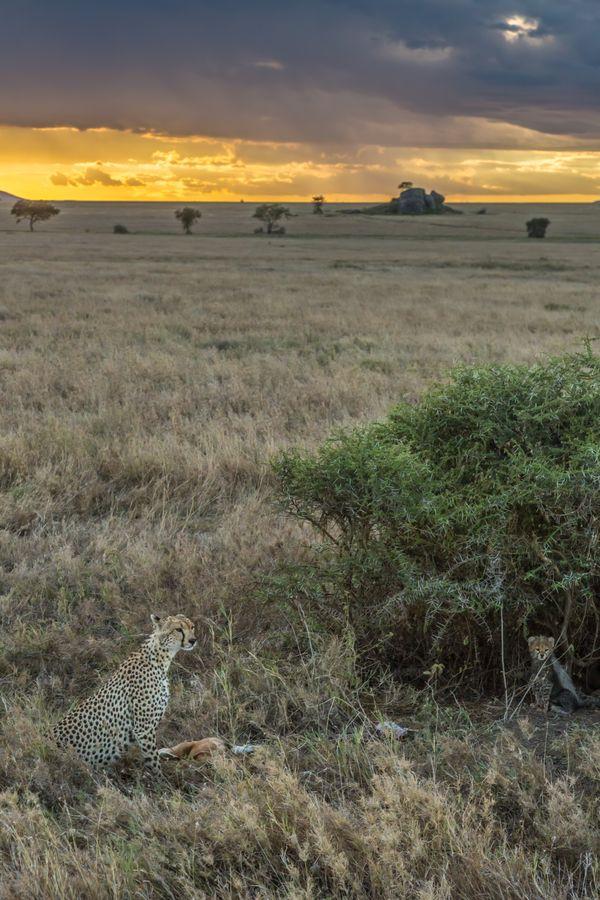 Cheetah family at sunset. thumbnail