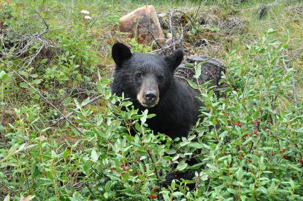 Beary Bush thumbnail