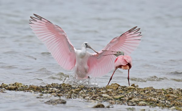 Young Spoonbill Flies In Looking For Food thumbnail