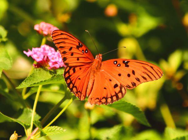 Posing Butterfly on Lantana thumbnail
