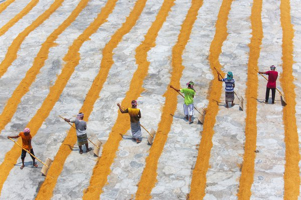 Paddy workers Row Row thumbnail
