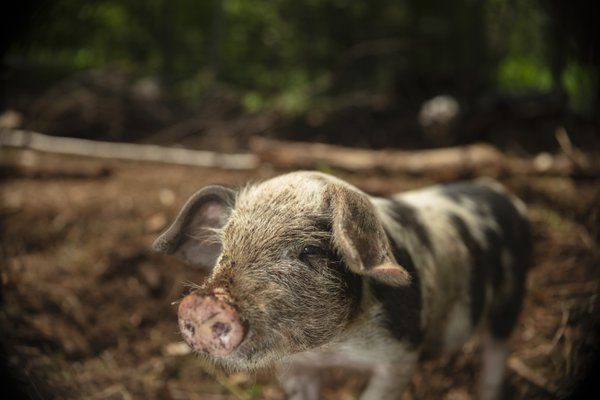 A piglet on a values-driven farm with greenery in background thumbnail