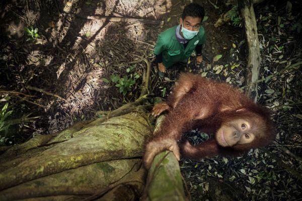 Saving Orangutans 18 thumbnail