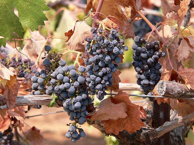 2013112901403011_29_2013_grape.jpg