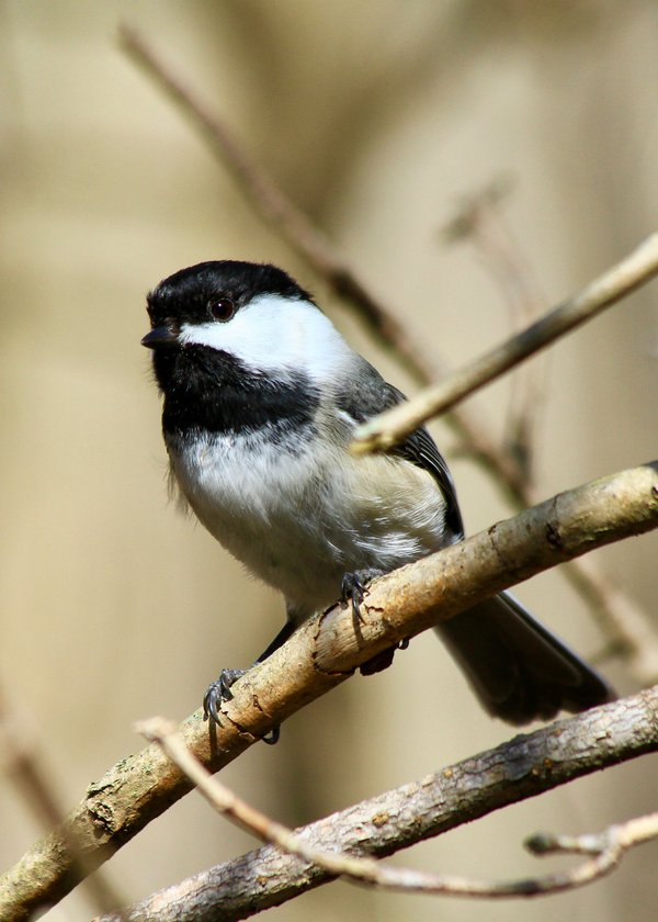 Black Capped Beauty Sheltering in the Sun thumbnail