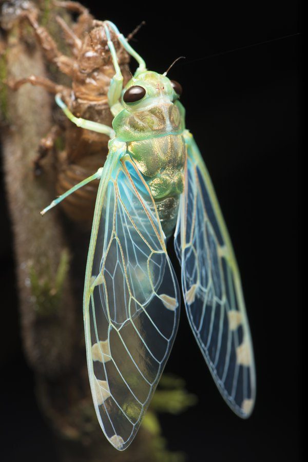 Freshly Emerged Cicada  thumbnail