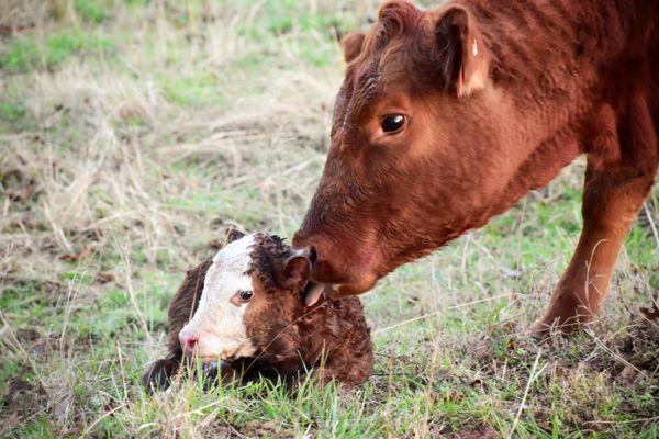 Newborn calf and mama  thumbnail
