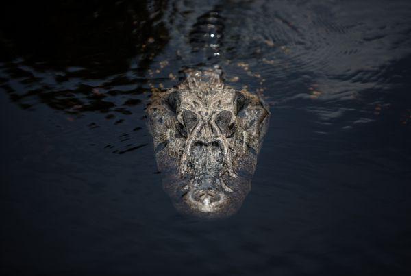 Amazonian crocodile thumbnail