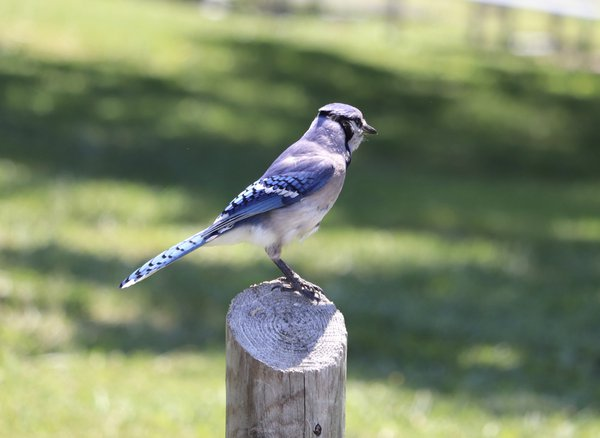 Blue jay on a fence post thumbnail