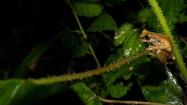 Aloapan River Frog. Exerodonta abdivita thumbnail
