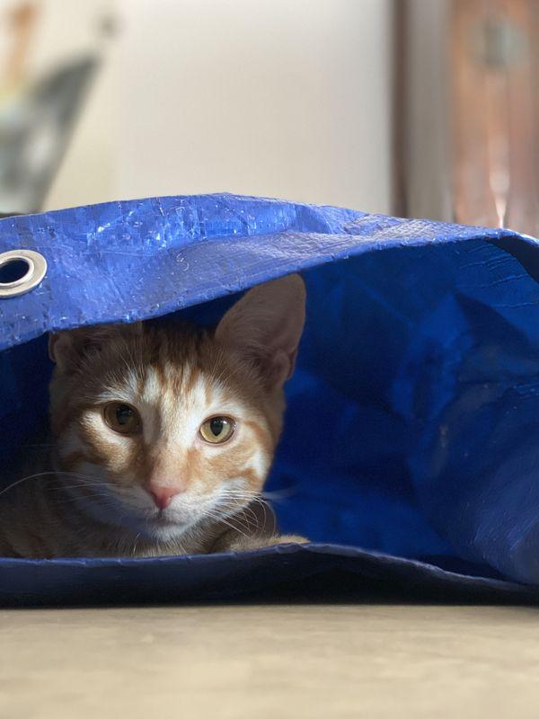 Orange kitten hiding under painting tarp looking at camera thumbnail