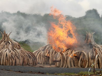 A record 105 tons of ivory was burned in Kenya in 2016, destroying tens of millions of dollars in illegal wildlife goods.
