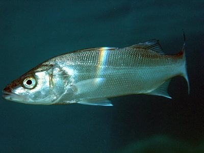 Researchers in France are testing which fish eggs are best suited to being launched to the moon. So far, European seabass are among the leaders.