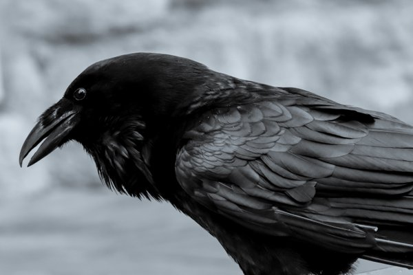 Raven of the Tower of London thumbnail