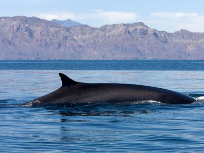 Fin whale songs are some of the loudest animals in the ocean, producing calls that can reach 189 decibels and are almost as loud as container ships.
