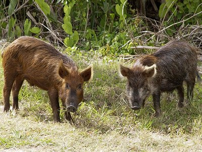 Wild pigs lack natural predators in much of the United States.